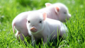 Pictures of piglets