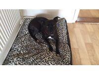 Staffordshire bull terrier 18 months