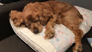Lost brown cocker spaniel - Buddy [Update: Buddy was found!]