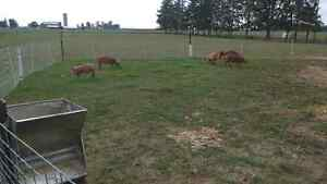 Pasture raised heritage pork London Ontario image 1