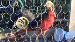 1 male Golden pheasant   and 1 female  ringtail pheasant