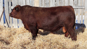 Yearling and Two Year Old Red Angus Bulls For Sale