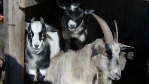 Two young mini goats, female and male