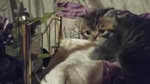 Cute Lil Male Exotic Shorthair Golden Tabby
