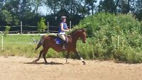 Registered Canadian Warmblood mare