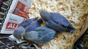 Handfed/tamed adorable  baby love birds for sale $55