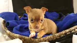 CHIHUAHUA PUPS TEACUPS GREAT PRICE
