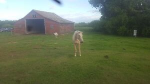 Miniature Mare and Palomino Filly for sale - $500 OBO