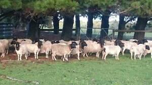 Blackhead Dorper Ewes for Sale Tullamarine Hume Area Preview