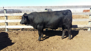 Purebred yearling Gelbvieh bulls
