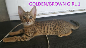Savannah Kittens avail Similar to bengal cat siamese ragdoll
