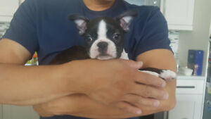 CKC Registered Pure Boston Terrier Puppy of Champion Boston