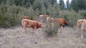 Limo cows w/ CharX calves by side Peterborough Peterborough Area image 6