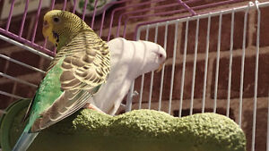 Three Budgies with Cage & Accessories