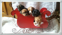 ****CHRISTMAS CHIWEENIES AVAILABLE **** !!!!