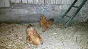 2 buff bearded silkie roosters for sale