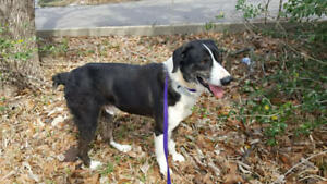 Earl, Border Collie mix 5-7years old Texas rescue for adoption