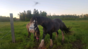 Clydesdale for rehoming