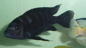 4 African cichlids for sale or trade