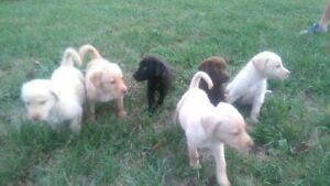 LAB PUPPIES ONLY 3 LEFT