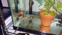"""4 Good Looking 3.5"""" Goldfish FREE AND Wisteria 7 stems $10"""