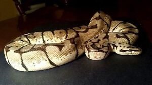 Bumble Bee Ball Python - Male