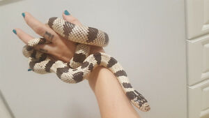 Cali King snake Female