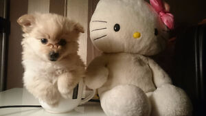Cream Pomeranian Puppies! Ready for their forever loving home!