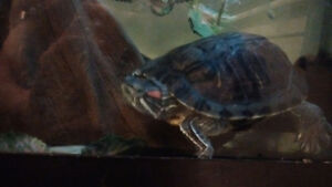 Male + Female red eared slider turtles free + equipment for $ Kawartha Lakes Peterborough Area image 8