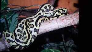 Jungle Jaguar And Irian Jaya Carpet Pythons
