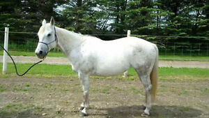 Registered Quarter Horse Mare Peterborough Peterborough Area image 5
