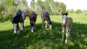 Registered Clydesdale Stallion For Sale