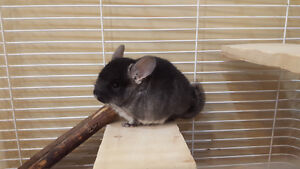 Baby Chinchilla up for sale! Includes all necessities!