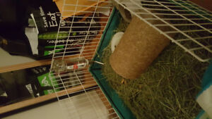 2 adult young guinea pigs *plus*