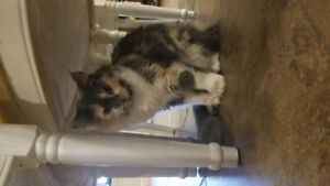 FREE female cat. 1 year old,