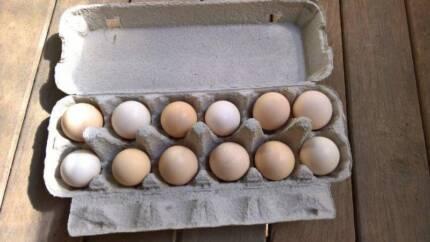 Fertile Bantam Eggs