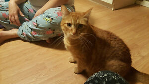 adult male cat in need of new home