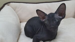 HAIRLESS PETERBALD KITTEN-BLACK