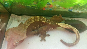 selling a red flame Harluquin male proven breeder crested gecko