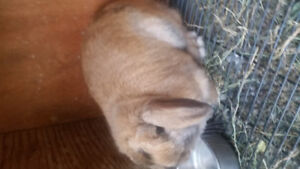 Young and purebred Holland lop for sale