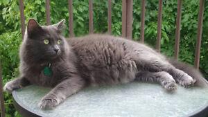 Grey female medium haired cat lost June 15 2017