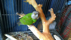 Amazing Senegal Parrot with cage for sale