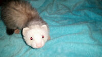 2 Females Ferrets 6 Month old, descended have all there shot up