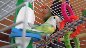 Male and Female Lovebird Pair