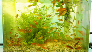 Platy & swordtail fish for sale Roselands Canterbury Area Preview