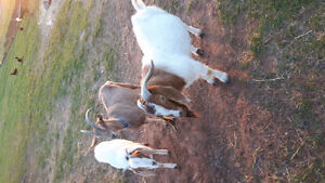 3 goats1 pregnant female  for sale or trade