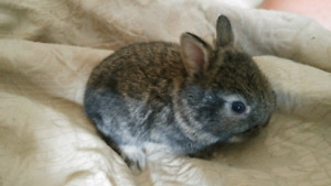 Netherland dwarf & lion head bunnies available now.