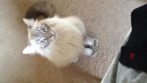 Rehoming free male neutered and declawed  ragdoll