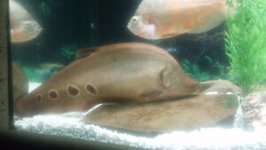 Large 15 Inch Gold Clown Knife Fish