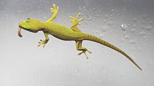 Young Madagascar Giant Day Gecko